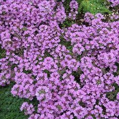 Материнка - трав`яниста рослина