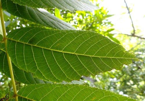 Настоянка листя волоського горіха корисна при панкреатиті