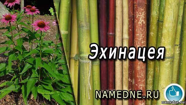 Ехінацея - лікувальні властивості