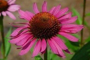 echinacea purpurnaia