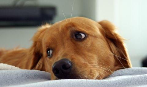 Як визначити наявність меланоми у собак, і лікується вона
