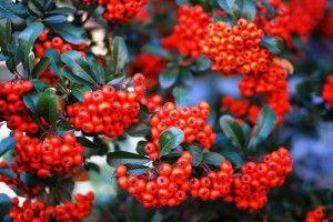 Червона горобина - для здоров`я і любові