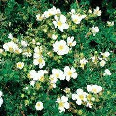 Лікарська рослина перстач білий