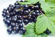 Листя чорної смородини: лікувальні властивості і протипоказання