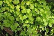 Мокриця (трава) - опис, корисні властивості, застосування