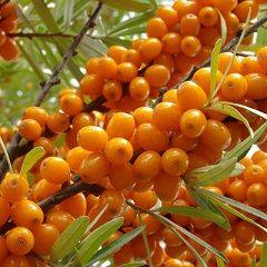 ягоди обліпихи
