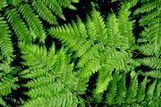 Папороть (рослина) - корисні властивості