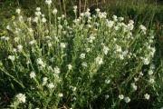 Грицики (трава) - опис, корисні властивості, застосування