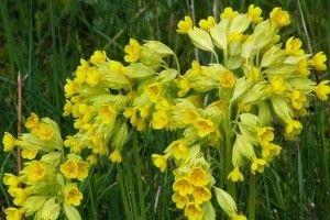 Первоцвіт весняний - опис, корисні властивості, застосування