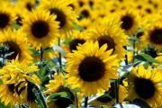 Соняшник: лікувальні властивості, вирощування, догляд