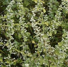 Пол-пала - трава, що володіє сечогінною властивістю