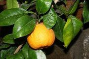 Помаранча (рослина) - опис, корисні властивості, застосування