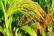 Просо (рослина) - опис, корисні властивості, застосування