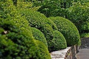 Самшит вічнозелений (посадка і догляд) - опис, корисні властивості, застосування