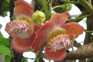 Сандалове дерево - опис, корисні властивості, застосування