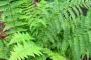 Щитовник (рослина): лікувальні властивості і застосування