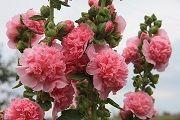 Шток-троянда - опис, корисні властивості, застосування