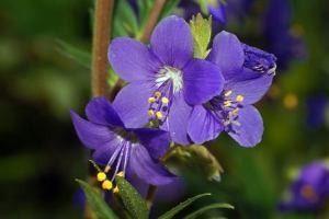 Синюха блакитна (трава, корінь) - опис, застосування, лікувальні властивості