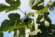 Смоківниця (рослина) - опис, корисні властивості, застосування
