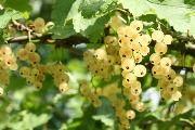 Смородина біла - користь і шкода білої смородини