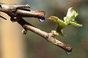 Сік виноградної лози (пасока): корисні властивості, застосування, рецепти