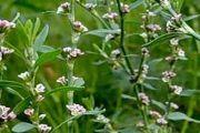 Спориш (трава) - опис, корисні властивості, застосування