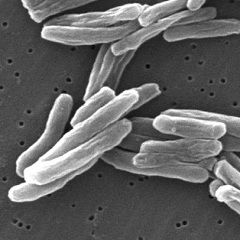 Туберкульозна паличка - збудник туберкульозу