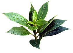 Вчимося використовувати масло чайного дерева від прищів