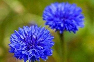 Волошка синя - опис, корисні властивості, застосування